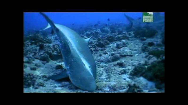 Брачное поведение акул (Shark sex)