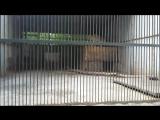 пумы. Зоопарк в Караганде.