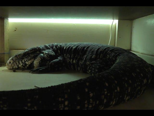 Как заставить ящерицу гулять или сытый и ленивый Tegu
