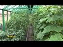 Выращивание томатов видео обучение