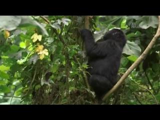 Animal planet. Большиие и страшные. Горные гориллы
