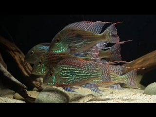 Geophagus - Geophagus sveni