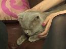 Домашний зоопарк: Британская короткошерстная кошка
