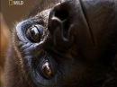 Способности обезьян National Geographic