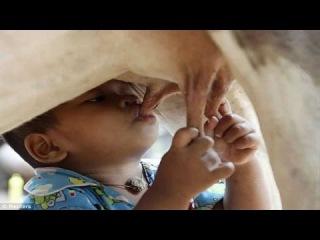 Мистическая сила молока коровы - свещенного животного.