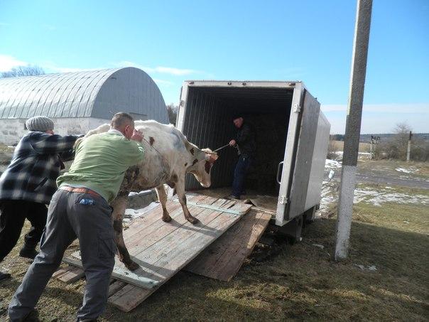 "Результат пошуку зображень за запитом ""перевезення корови"""