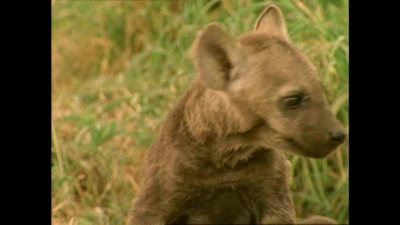 14 Гієна Хетті Твої веселі друзі звірята All About Animals BBC