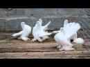 Статные голуби 2012