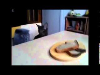 Воришка) Кот ворует черный хлеб, прикол! Прикол юмор ржач смешное видео