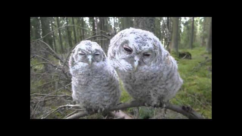 Две совы на суку Two Owls on a branch Deux hiboux sur une branche