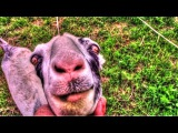Goats: Tethering or Electric Fencing? | Homestead Kids