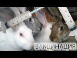 Вакцинация кроликов - как делать прививки кроликам.