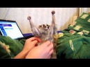 And now at last - Sonya ! (slow loris tickle)