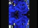 Frequenz - синие розы