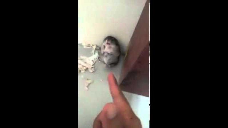 Хомяк изображает смерть от выстрела из пальца