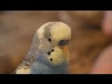 Волнистый попугайчик Кроша разговаривает.