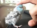 "Zerby the parrotlet acting cute, playing the ""boop"" game, and saying ""scratches"" ""all done"""