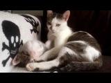 Котенок повторяет за мамой кошкой)
