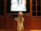 Эмоциональный просмотр передачи о животных. =) А ваш пес любит смотреть ТВ?