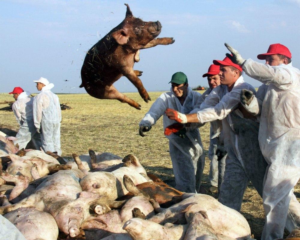 Ветеринарные врачи Таганрога просят сообщать о фактах падежа и массового заболевания свиней