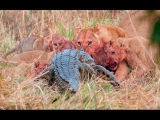 """""""Атака нильского крокодила"""". Фильм о гибели на реке Конго каякера, съеденного крокодилом."""