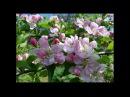 Лучше нету того цвету, когда яблоня цветёт В.Нечаев