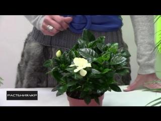 Гардения жасминовидная уход в домашних условиях Gardenia jas