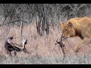 Два медоеда против шести львов / honey badger vs Lions
