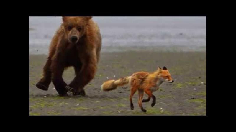 У світі тварин 3. Лисиці. Спосіб життя