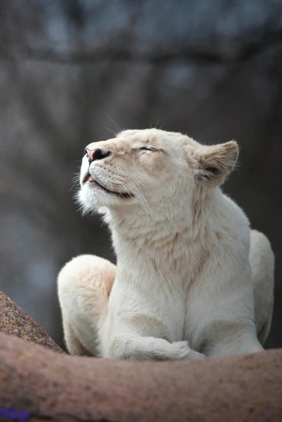 Фото на аву львица