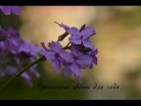 Ароматные цветы для сада и цветника!