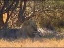 Людоеды дикой природы - Львы. Рассказы про львов убийц нападающих на людей.
