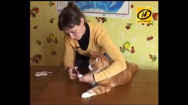 Мэйн кун - кот-великан, советы по уходу.