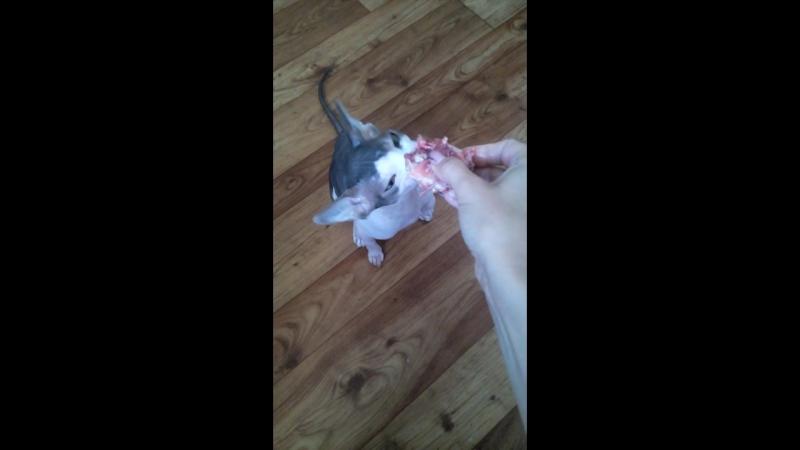 мой лысый кошка))