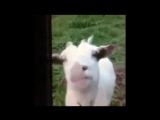 коза пиздолиза
