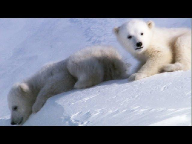 Cool Cute Cubs Amazing Animal Babies Polar Bear Cubs Ep 6 Earth Unplugged