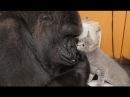 Горилла Коко — самое умное животное в мире.