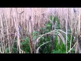 МТЗ 82.1 брызгаем пшеницу десикантом ДИКВАТ /MTZ 82.1 we sprinkle wheat by a desiccant DIQUAT