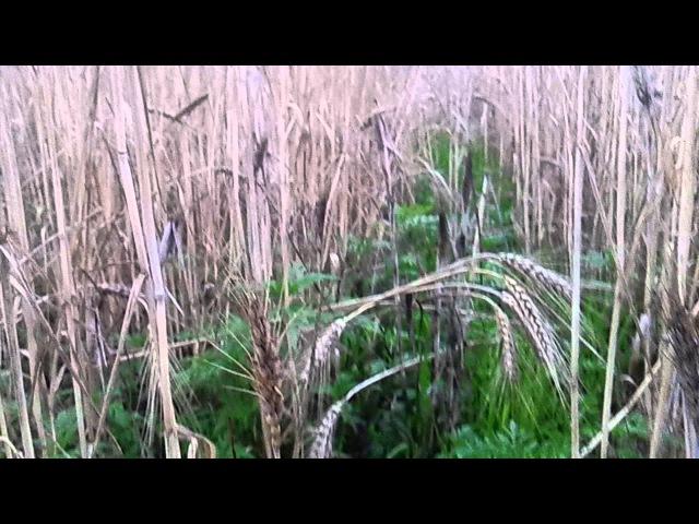 МТЗ 82 1 брызгаем пшеницу десикантом ДИКВАТ MTZ 82 1 we sprinkle wheat by a desiccant DIQUAT