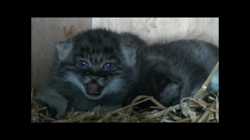 WHF Pallas Cat Kittens 2010 - at 4 weeks old