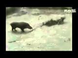 Бой дикого кабана и бойцовских собак(видео не мое)