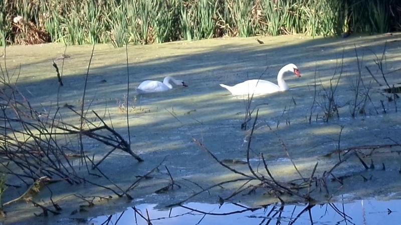 Лебеди на Великобурлукском пруду