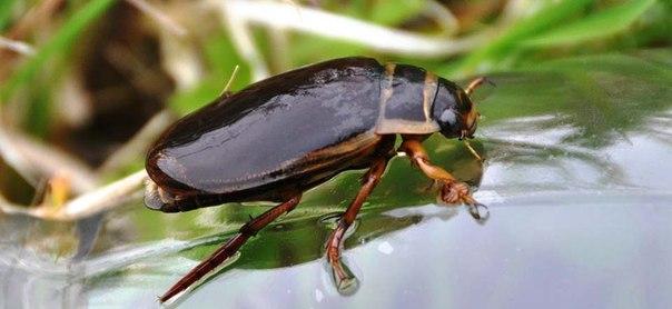 А вот и жук плавунец.