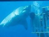 Самая большая белая акула / Diver high fives mammoth great white shark