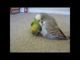 Говорящий попугай  Уболтал до смерти! Ржач!