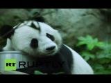 Китай: Знакомства Цзя Цзя, старейший в мире гигантская панда, живущий в неволе!