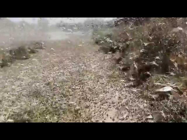 Нашествие саранчи на село Ачикулак 28 07 2015