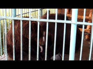 Бурый медведь поёт песню о любви.