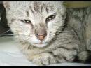 Простуда у кошек. Кошка чихает. Ринотрахеит кошек