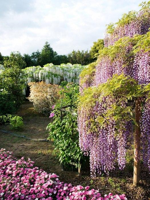Как выращивать глицинию на садовом участке и как вырастить глицинию в северо-западном климате